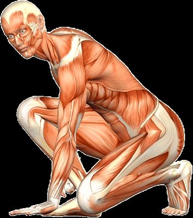 Muskeln gif für RGR
